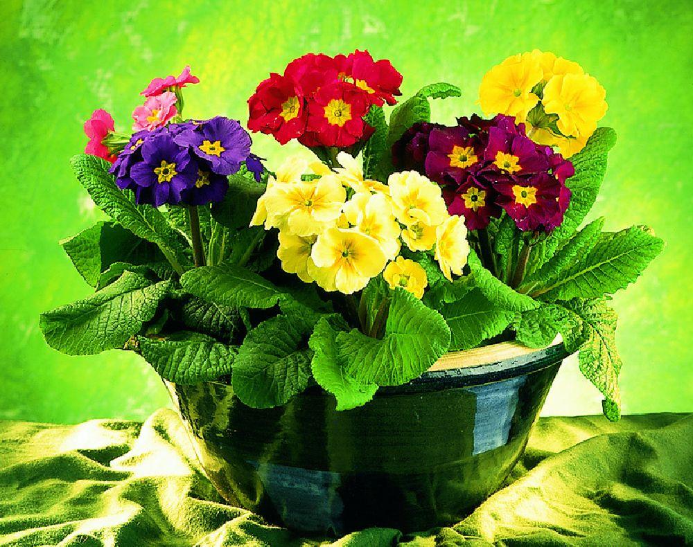 adelaparvu.com-despre-Primula-Text-Carli-Marian-Foto-Floradania-Primula-veris-1